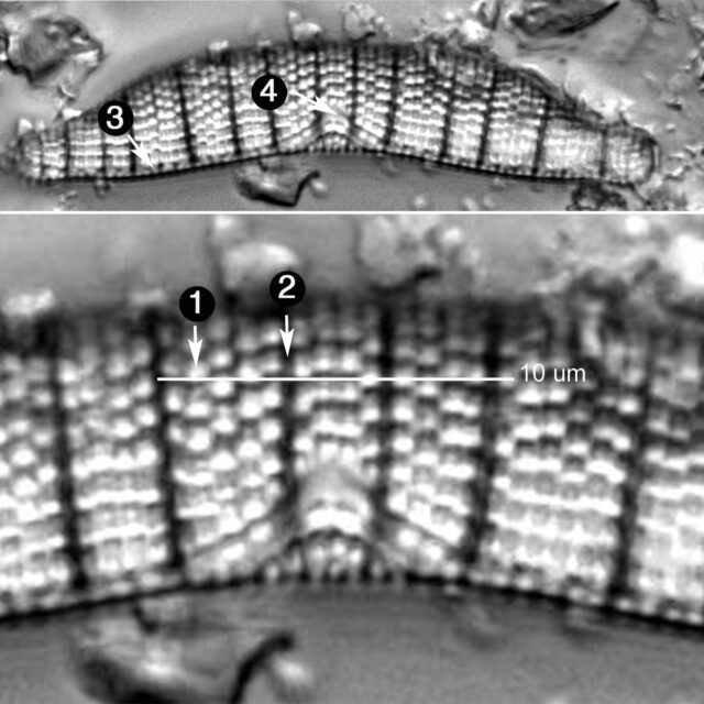 Epithemia Adnata Guide Copy