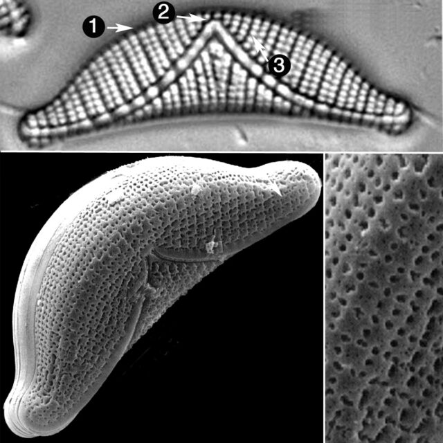 Epithemia Sorex Guide Copy