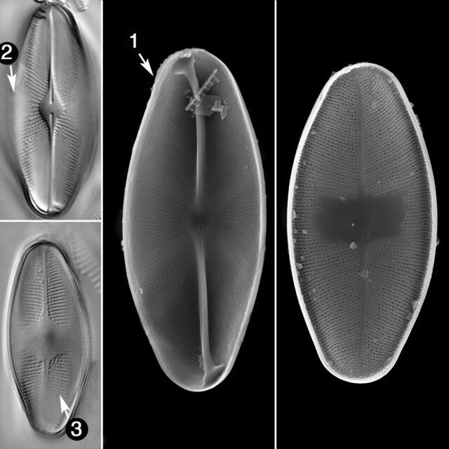 Euccoconeis Flexella Guide