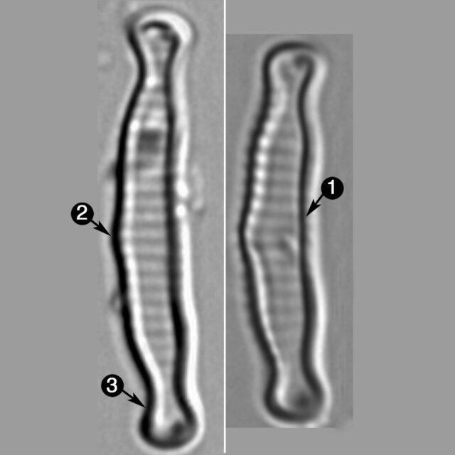 Eunotia Microcephala Guide