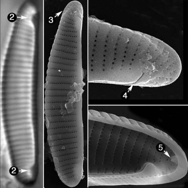 Eunotia Papilioforma Guide