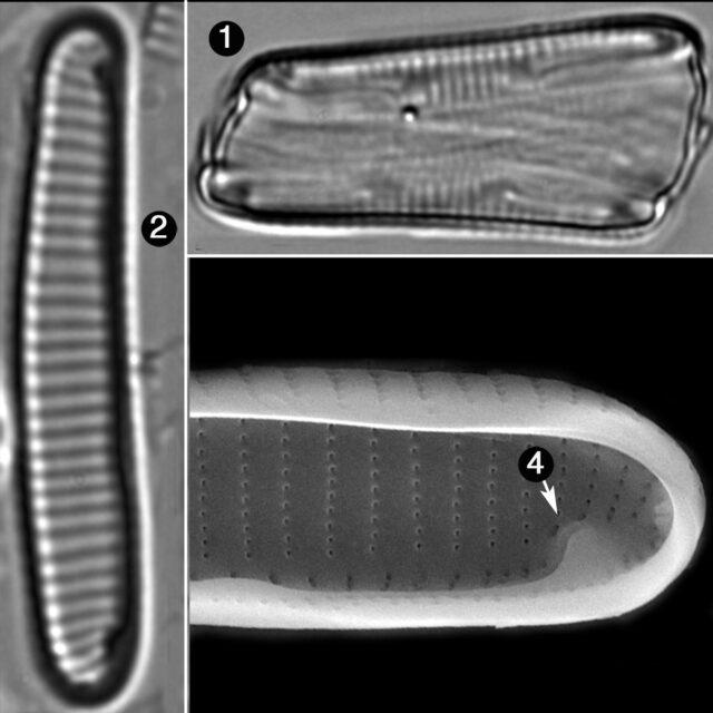 Eunotia Rhomboidea Guide