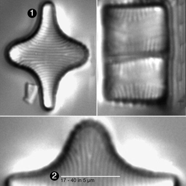 Fragiliariaforma Horstii Guide