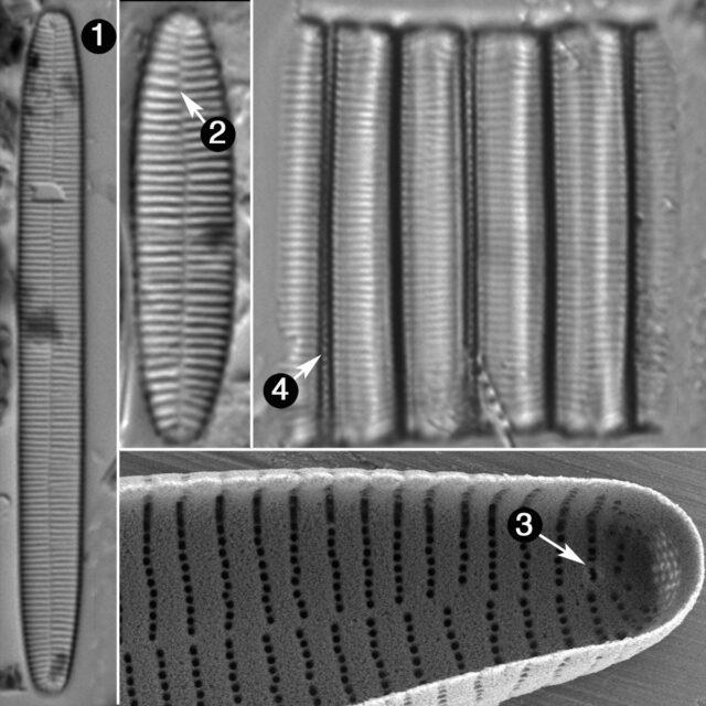 Fragiliariaforma Nitzschiodes Guide