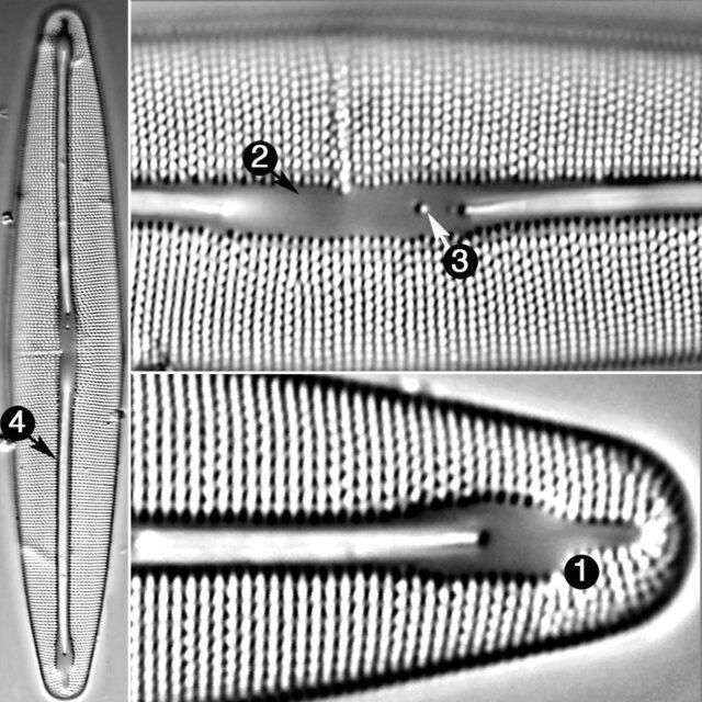 Frustulia Amphipleuroides Guide