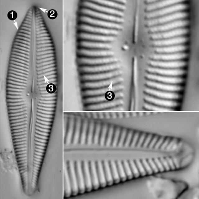 Gomphoneis Apiculata Guide