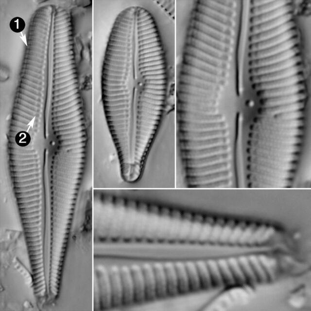 Gomphoneis Variabilis Guide