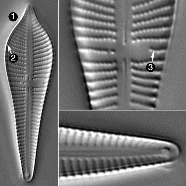 Gomphonema Apiculatum Guide