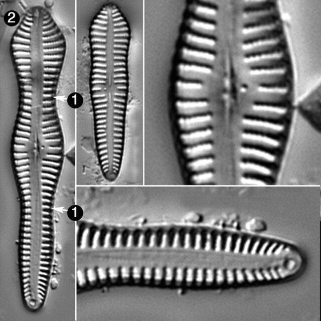 Gomphonema Brebissonii Guide
