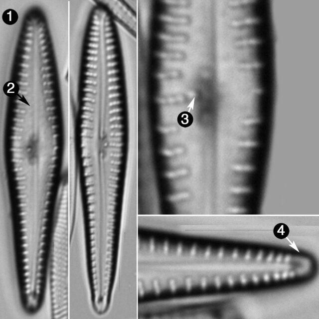 Gomphonema Germainii Guide
