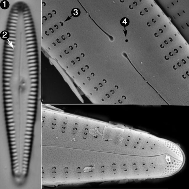 Gomphonema Incognitum Guide