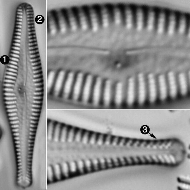 Gomphonema Manubrium Guide