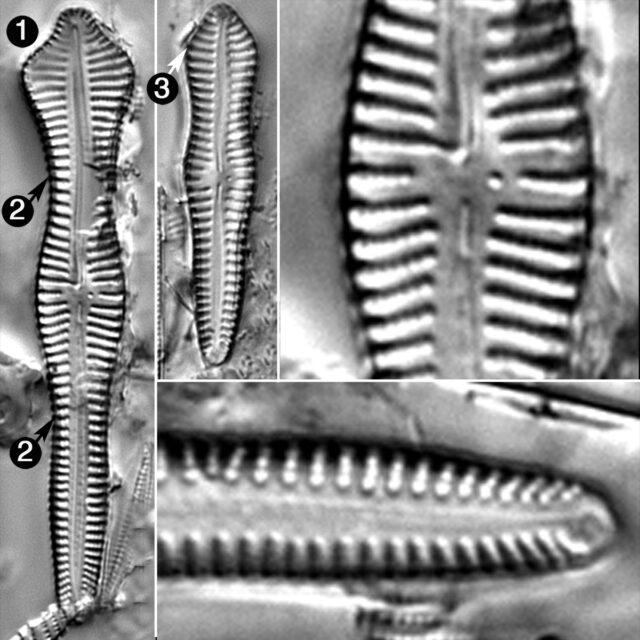 Gomphonema Pusillum Guide