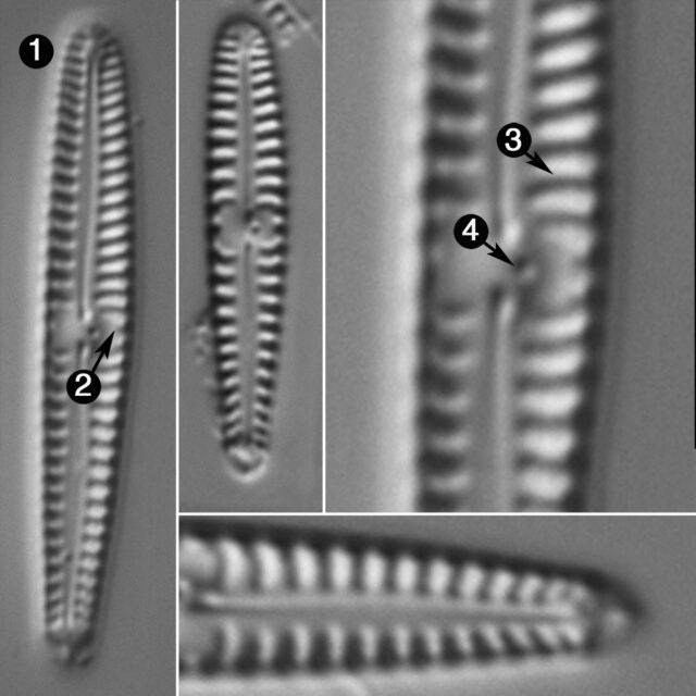 Gomphonema Pygmaeum Guide