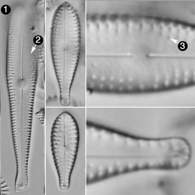 Gomphosphenia Grovei Guide