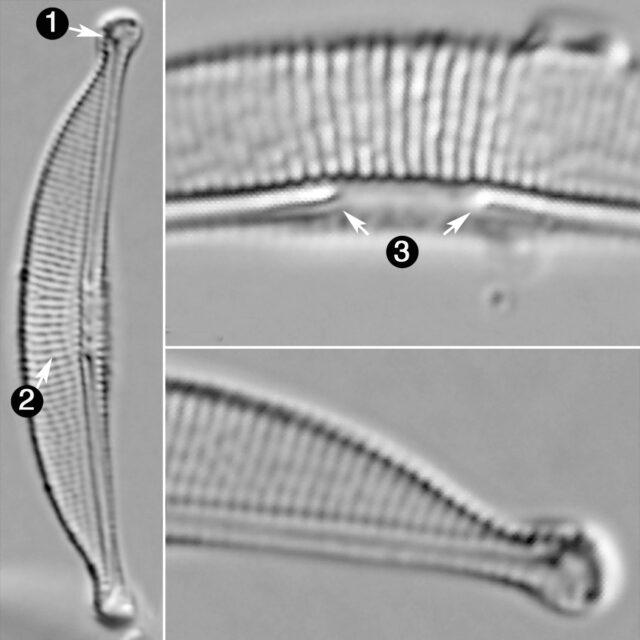 Halamphora Oligotraphenta Guide