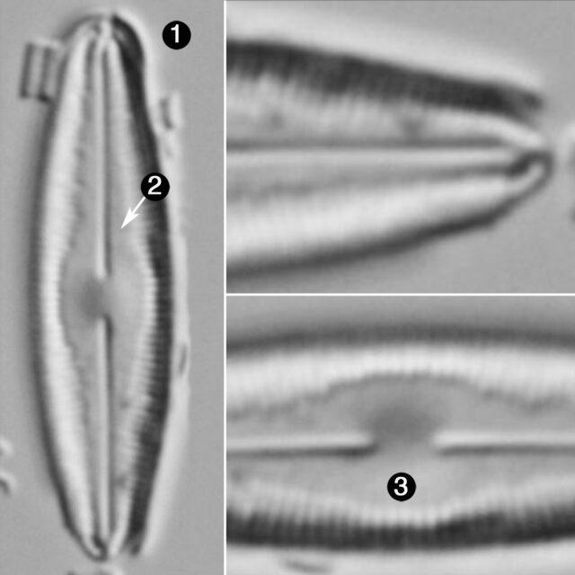 Humidophila Perpusilla Guide