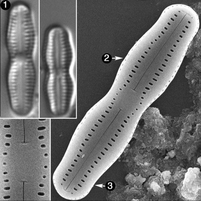 Humidophila Undulata Guide