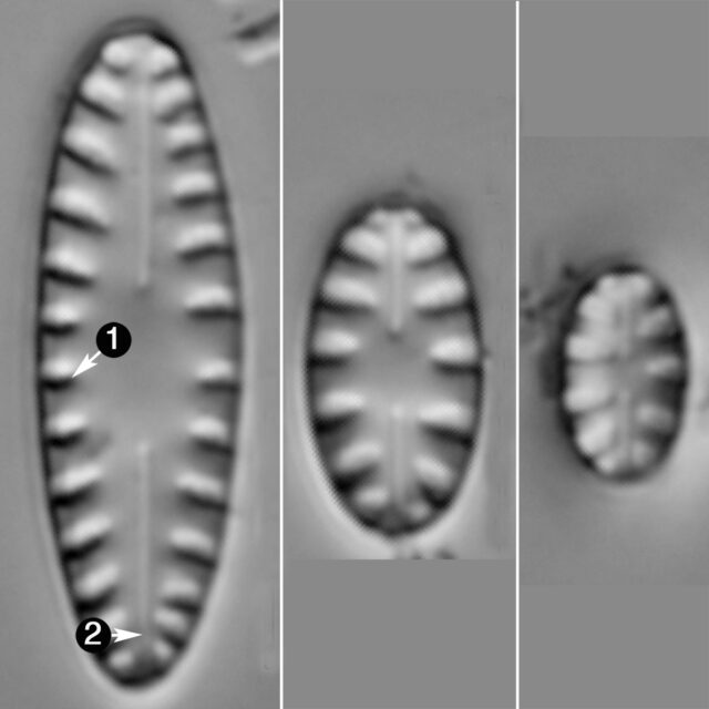 Hygroptera Balfouriana Guide