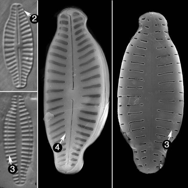 Karayevia Pleonensis Gess Guide