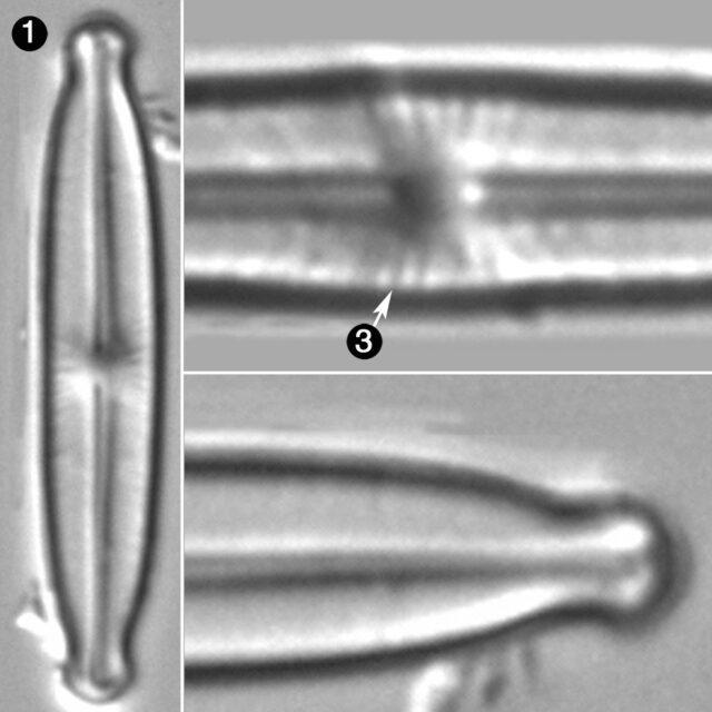 Kobayasiella Micropunctata Guide