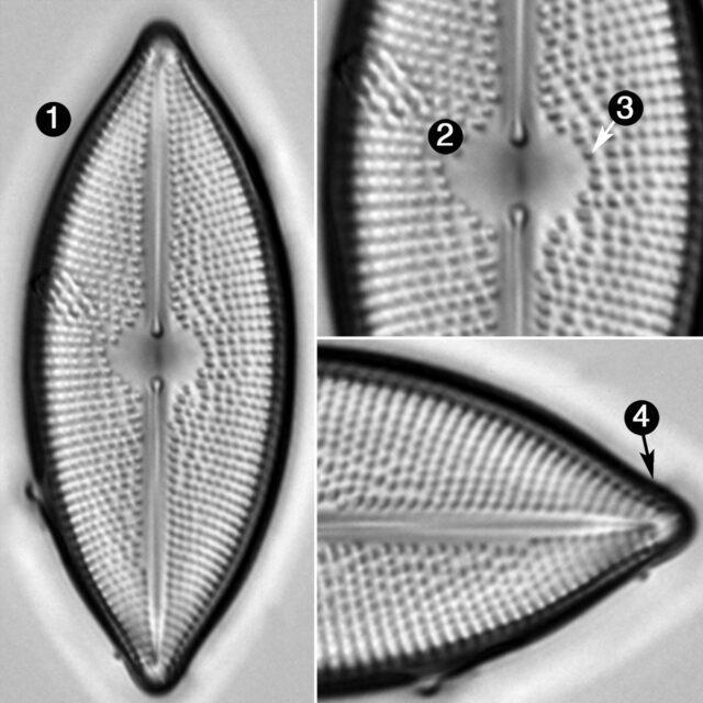 Lacustriella Lacustris Guide