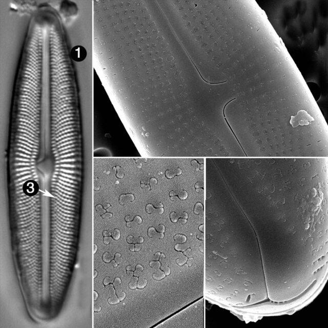 Muelleria Agnellus Guide