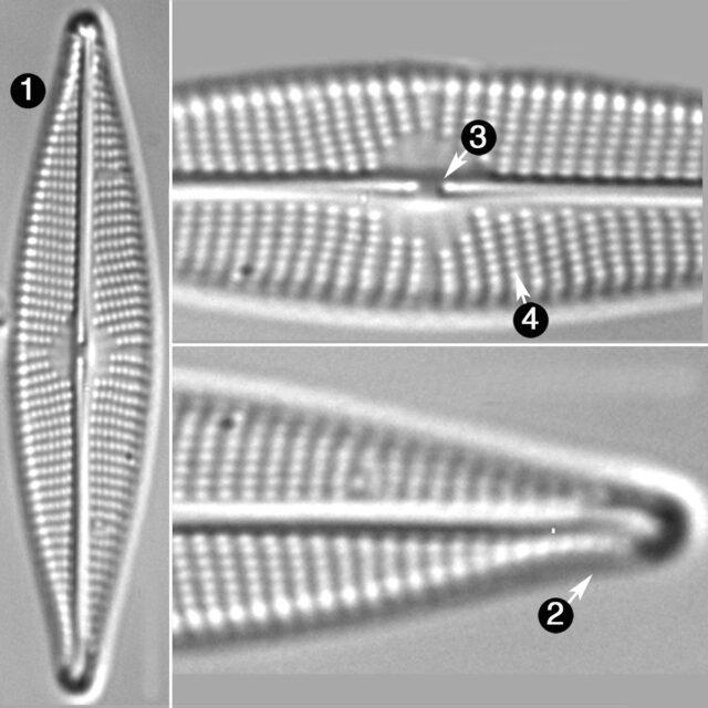 Navicula Cryptocephaloides Guide