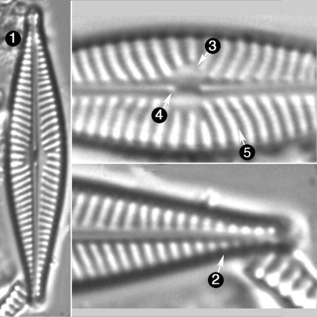 Navicula Cryptofallax Guide