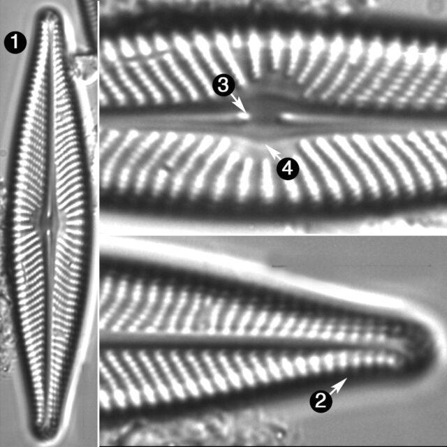 Navicula Flatheadensis Guide