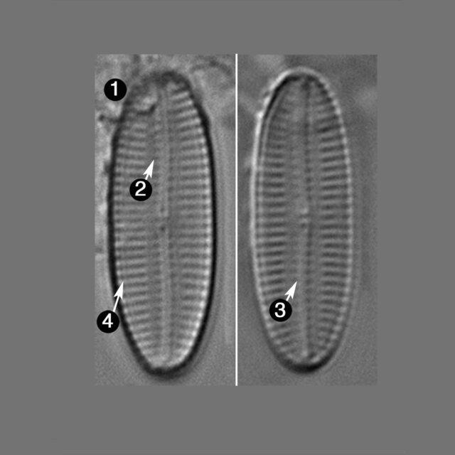 Navicula Hodgeana Guide