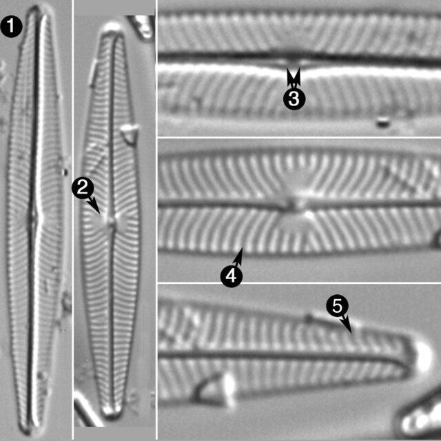 Navicula Leptostriata Guide
