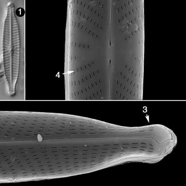 Navicula Longicephala Guide