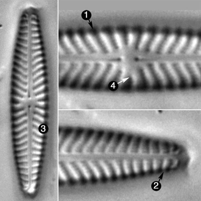 Navicula Seibigiana Guide