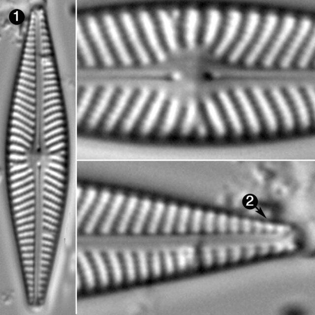 Navicula Supleeorum Guide