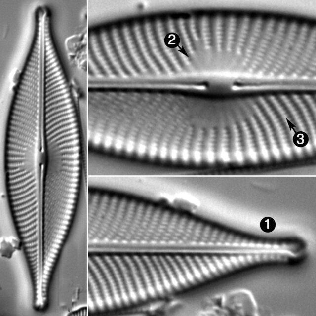 Navicula Whitefishensis Guide