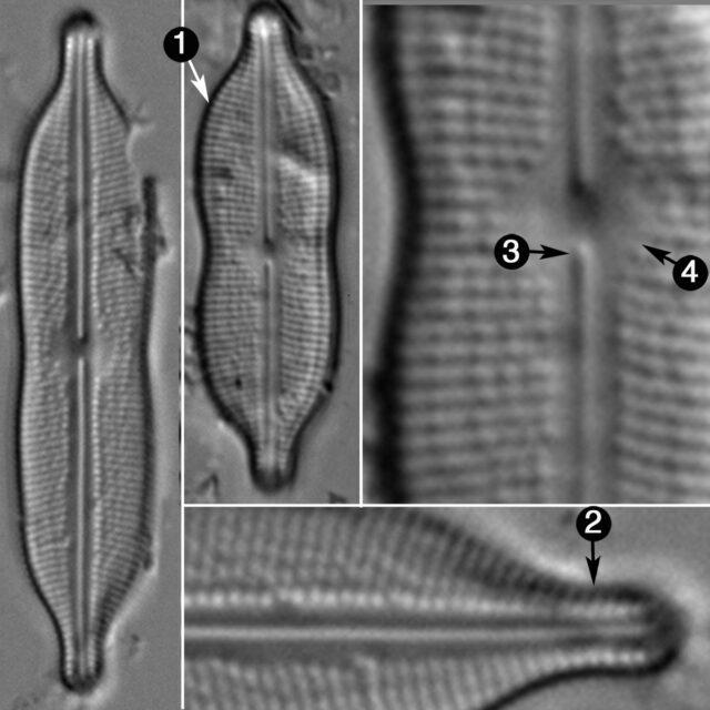 Neidiomorpha Binodiformis Guide