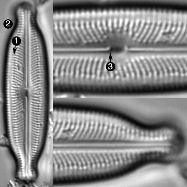 Neidiopsis Wulffii Guide