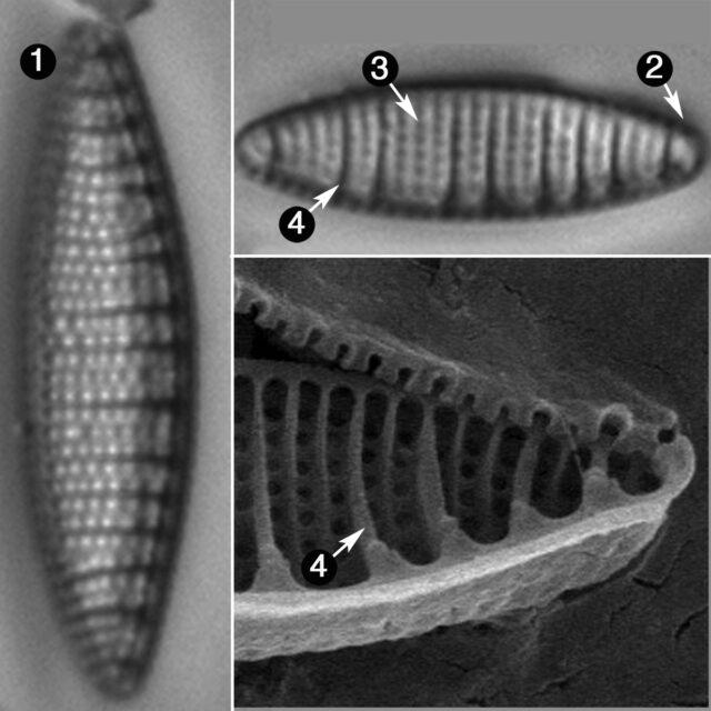 Nitzschia Amphiboides Guide