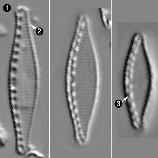 Nitzschia Fonticuloides Guide