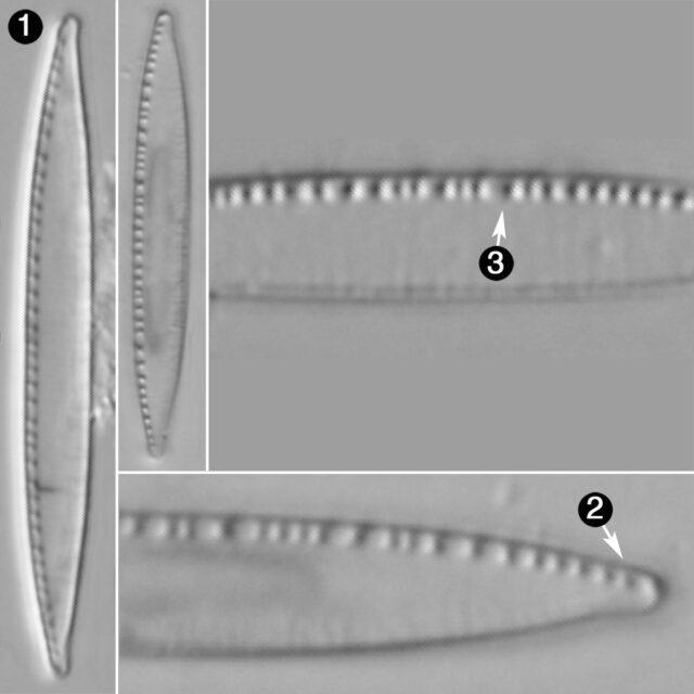 Nitzschia Palea Var Debilis Guide
