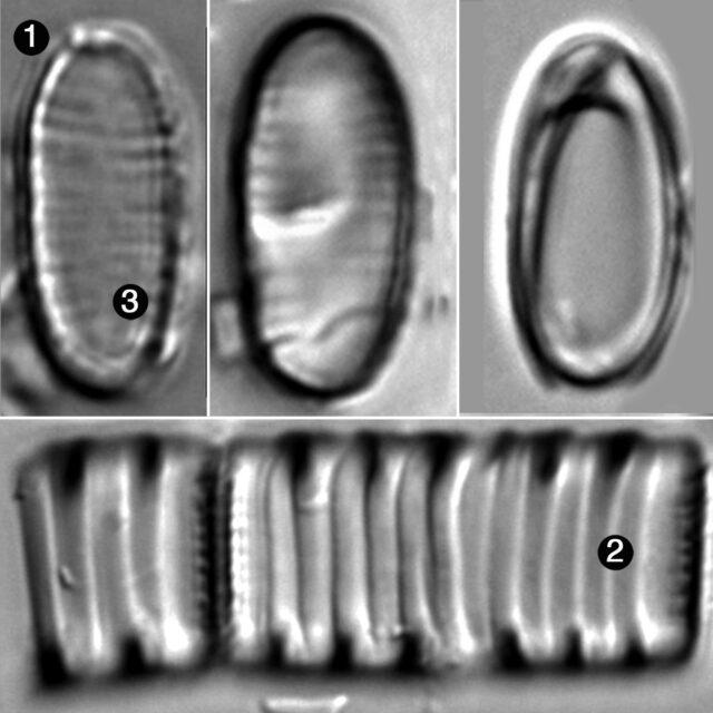 Oxyneis Binalis Elliptica Guide