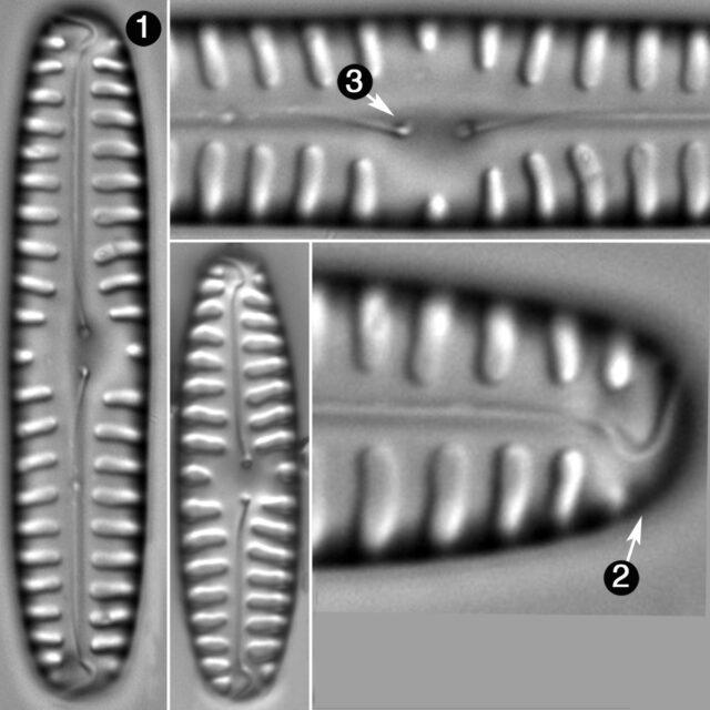 Pinnularia Borealis Guide