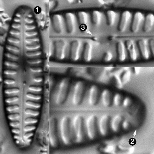 Pinnularia Borealis Lanceolata Guide