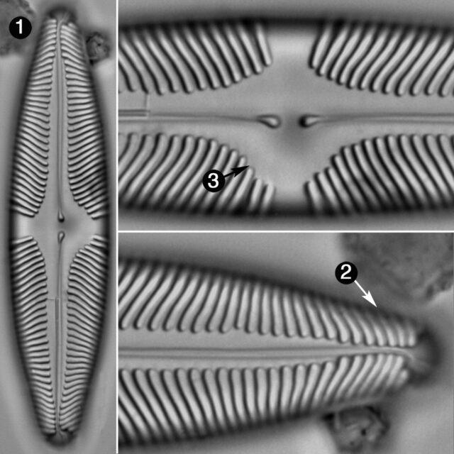 Pinnularia Suchlandtii Guide