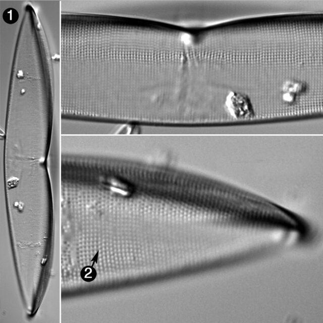 Plagiotropis Arizonica Guide