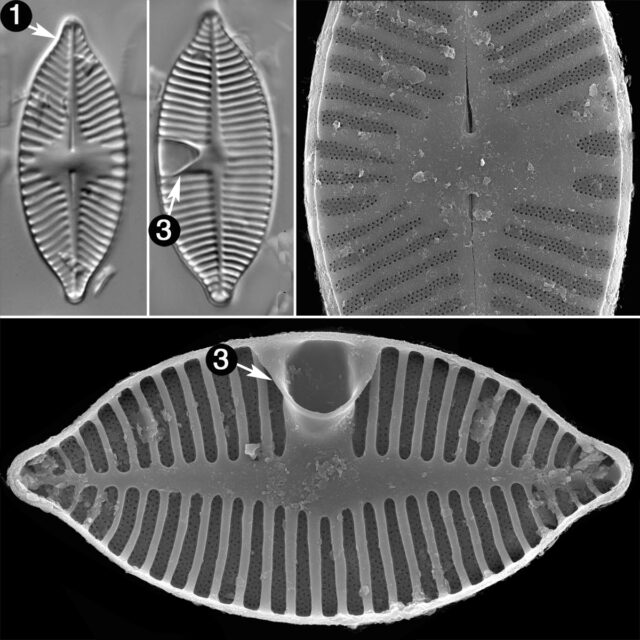 Planothidium Apiculatum Guide