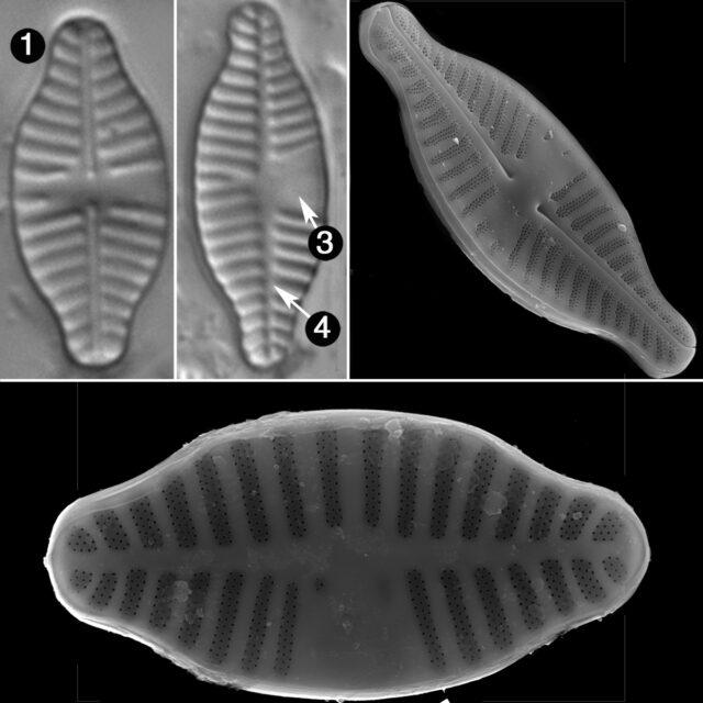 Planothidium Dubium Guide