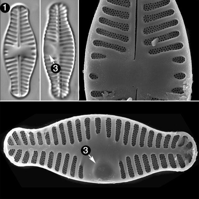 Planothidium Haynaldii Guide