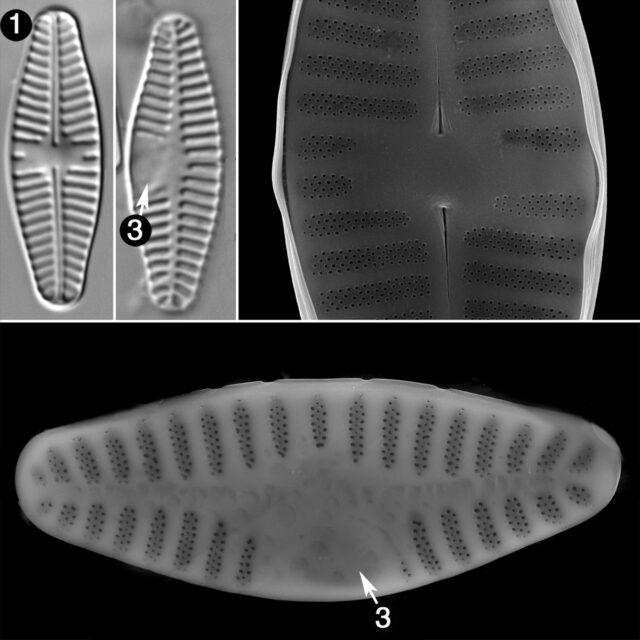 Planothidium Lanceolatum Guide
